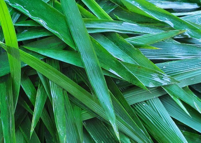 Awesome Health Benefits of Bamboo leaf Tea