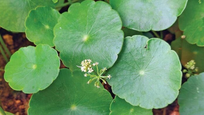 Saraswati Leaf Health Benefits