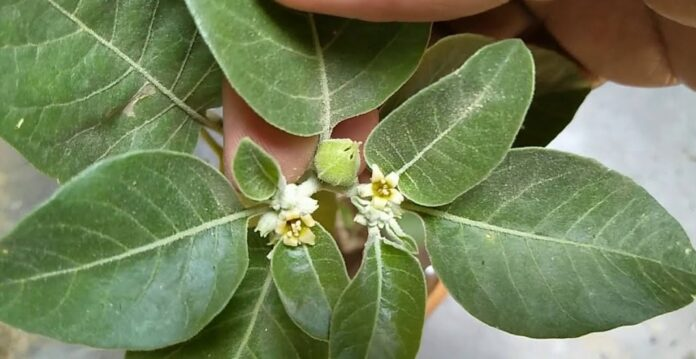 Does Ashwagandha help in recovery from Covid